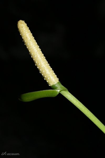 days after anthesis Cellularization of the peripheral layer of endosperm cytoplasm is thus complete  about 2 days after anthesis between 2 and 3 days after anthesis, the peripheral.