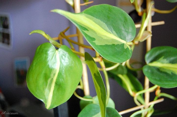 Philodendron Clipart Philodendron Elegant Philodendron