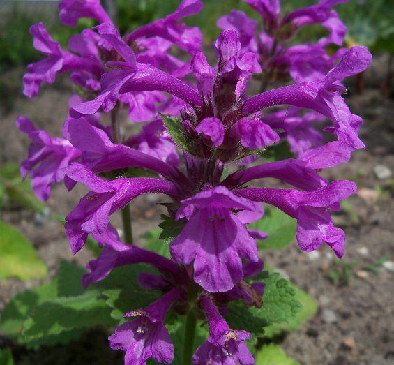 Zobacz Wątek Abrimaal Identyfikacja Róznych Roślin